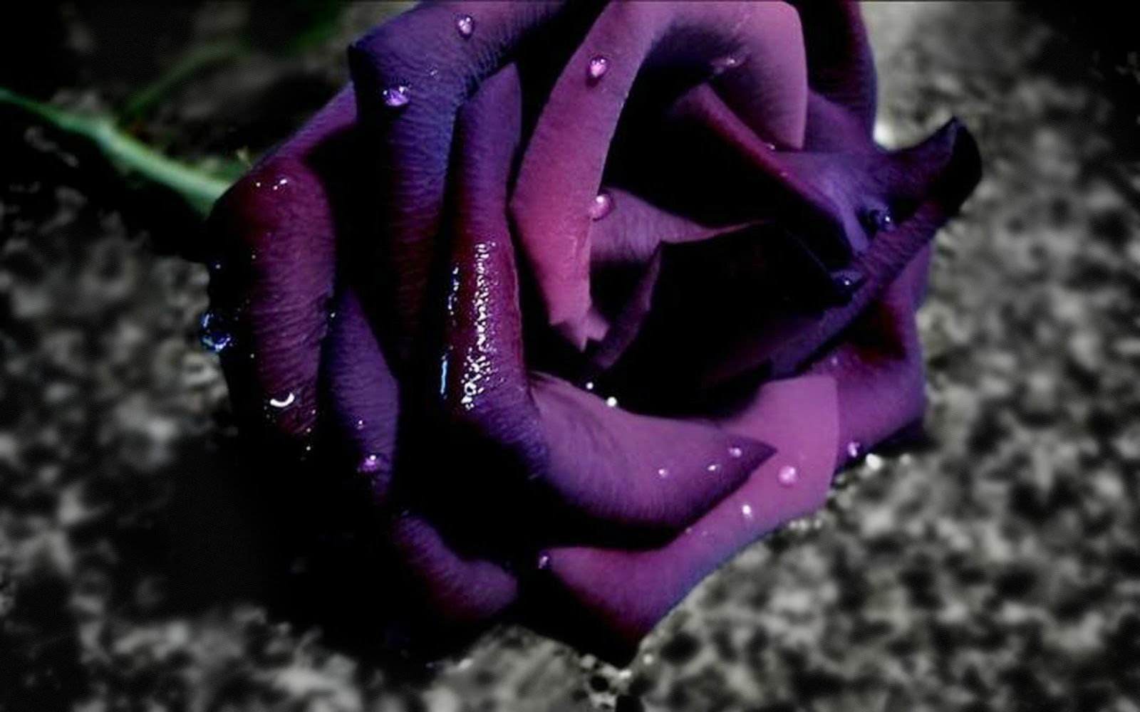 Purple Roses Background Images: Beautiful Roses HD Desktop Wallpapers In 1080p