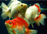"Jenis Ikan koki Fantail "" Ekor Kipas "" tercantik dan bagus"