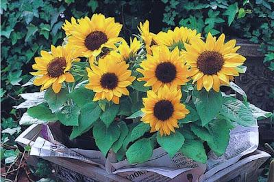 kini anda dapat membuat pupuk penyubur tanaman bunga sendiri