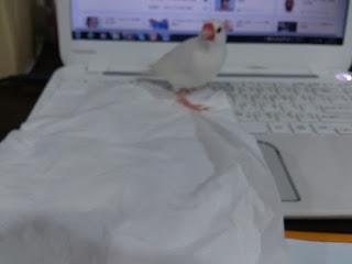 わが家の文鳥
