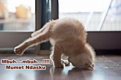 gambar kucing koprol lucu