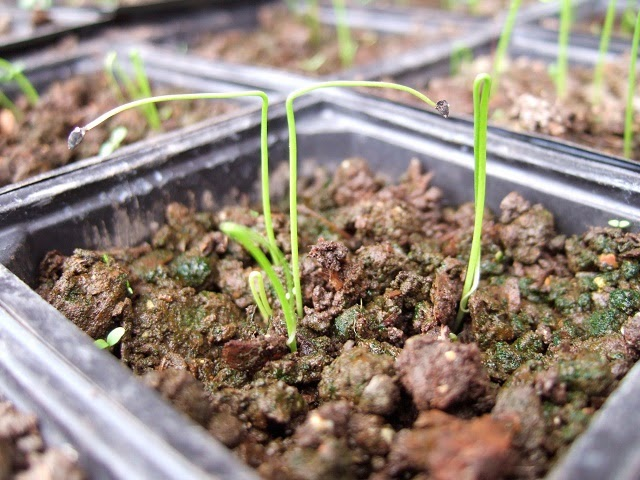 Welsh onion seedlings