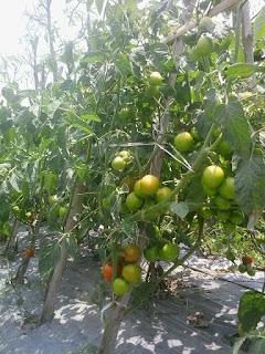 Tomat-Natama-super-f1-di-Surabaya