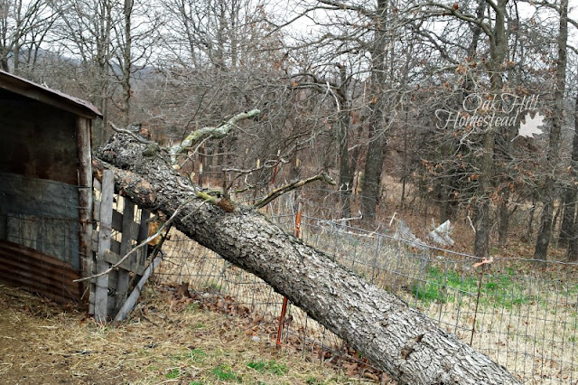 Fallen tree missed the goat shed