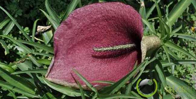 Dead Horse Arum Lily