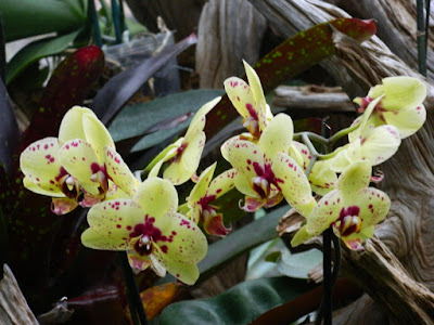 Phalaenopsis Harlequin Moth Orchid hybrid at the Centennial Park Conservatory by garden muses-not another Toronto gardening blog