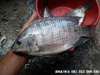 Master Umpan Ikan Nila Indukan