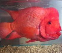 Asal Muasal Ikan Louhan, Dan Ciri-Cirinya
