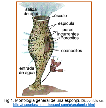 Reproducción en Poriferos