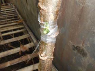 knik menempel singkong ini batang bawah digunakan singkong lokal konsumsi yang masih hidup CARA OKULASI / MENEMPEL MATA TUNAS SINGKONG