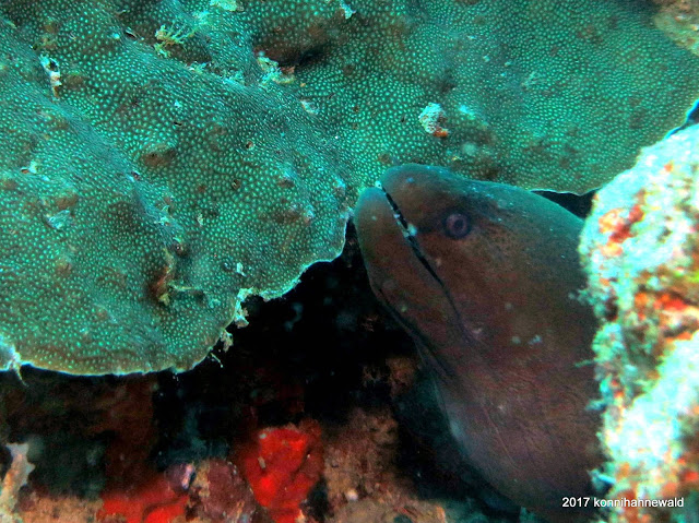 giant moray eel, tropical sea, andaman sea, pulau weh, indonesia, coral reef,