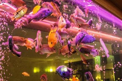 Jenis Ikan Hias Cantik yang Mudah Dipelihara Pemula Besreta Harganya