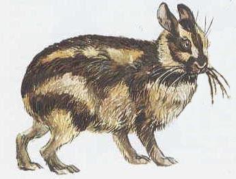 Klasifikasi Nesolagus netscheri