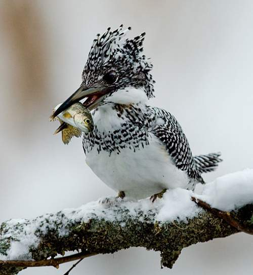 Indian birds - Picture of Crested kingfisher - Ceryle lugubris