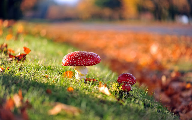 Rode paddenstoelen en herfstbladeren op het gras