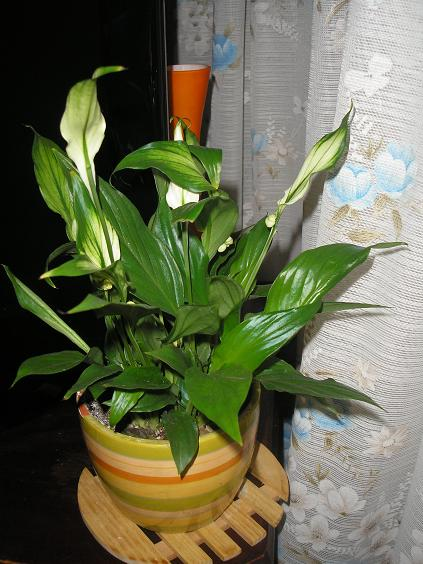 El jardin de pepa plantas de interior y cactus for Plantas de interior hojas grandes