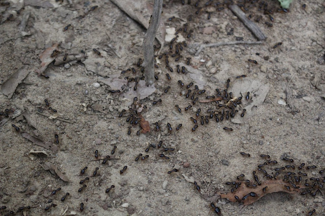 Termites gathering on the ground.
