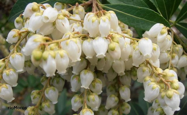 Flores de Pieris japonica Andrómeda, pieris