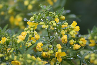 Cassia Vivero Growers Nursery Austin