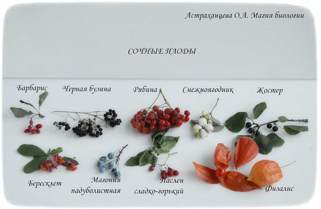 сочные-плоды-бузина-рябина-жостер-снежноягодник-бересклет-физалис-паслен-магония