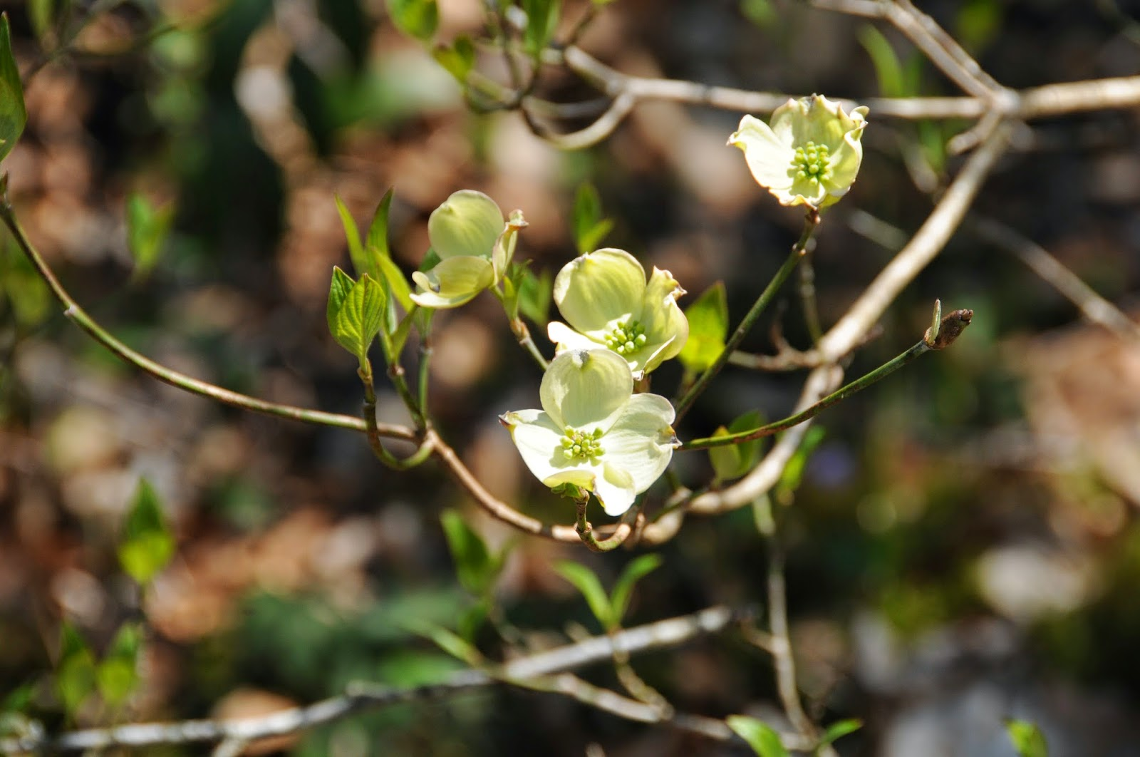 the taxonomic classification for the flowering dogwood Angiosperms: seeds are enclosed in an ovary (fruit), therefore flowering plants gymnosperms angiosperms angiosperms common plant genus pinus-pine acer-maple ilex-holly ficus-fig cornus-dogwood rhododendron-rhododendron quercus-oak scientific classification of plants taxonomy the science of classifying and identifying plants.