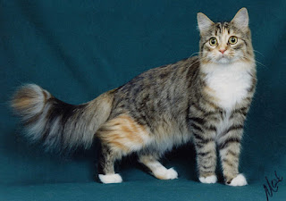 gambar kucing lucu manx