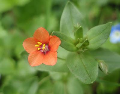 Murajes (Anagallis arvensis) flor silvestre naranja