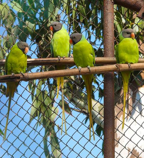 Indian birds - Image of Grey-headed parakeet - Psittacula finschii