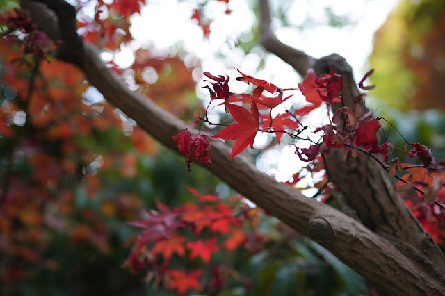 Leaf & bokeh, autumn colours - Sheffield Park - Sony 24mm review - Ashley Laurence