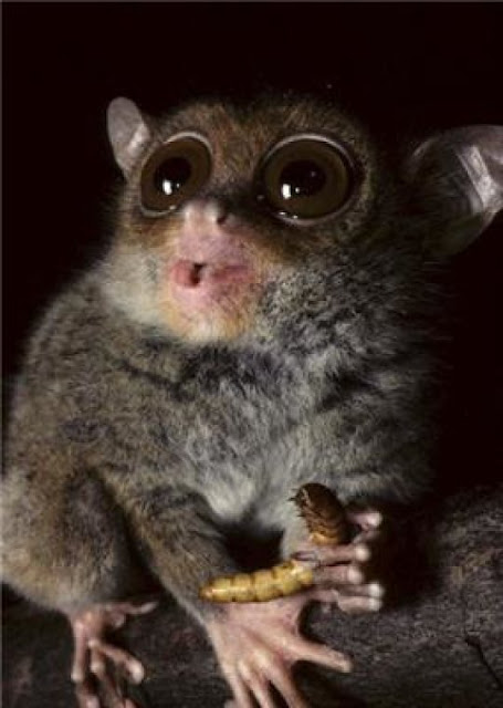 Decoding of tarsier genome reveals ties to humans