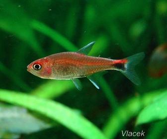 Ruby Tetra Fish, Axelrodia Riesei (Géry, 1966)
