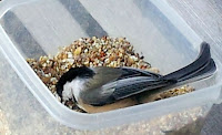 Chickadees - she decided to get into the bowl, one seed at a time from our hand wasn't too fancy :: All PrettyThings