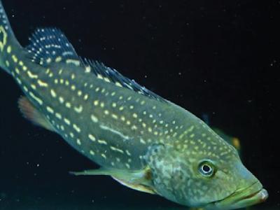 Peacock Bass Temensis Si Roket Terbesar Dengan Bintik Mutiara