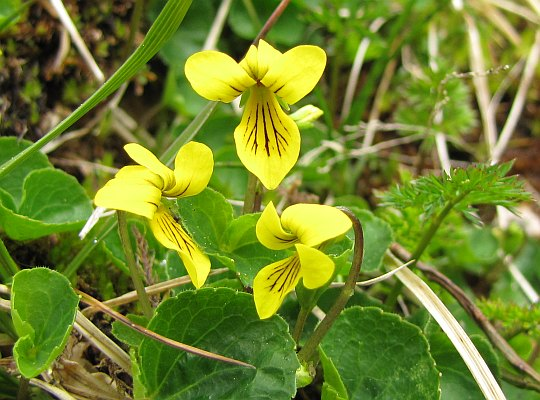 Fiołek dwukwiatowy (Viola biflora).