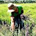 Το σχέδιο για ανάπτυξη της καλλιέργειας αρωματικών φυτών - Κάλεσμα Αποστόλου σε αγρότες
