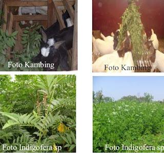 potensi tanaman indigofera
