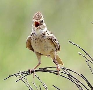 Suara Burung Sonca (Branjangan Vietnam)