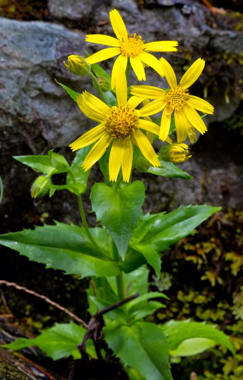 Nwflora Streambank Arnica Arnica Amplexicaulis