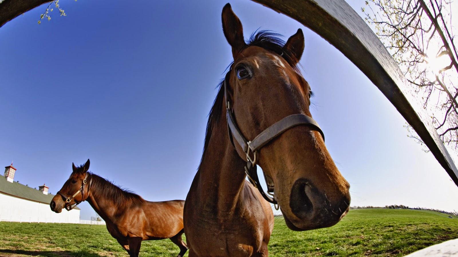 Wallpaper met twee paarden