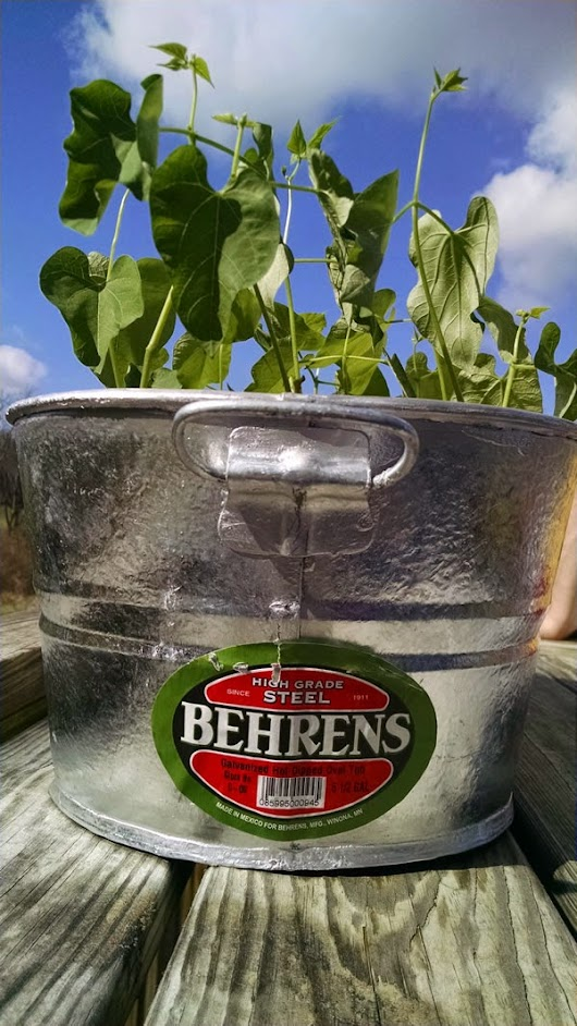 Beans growing in a galvanized tub planter