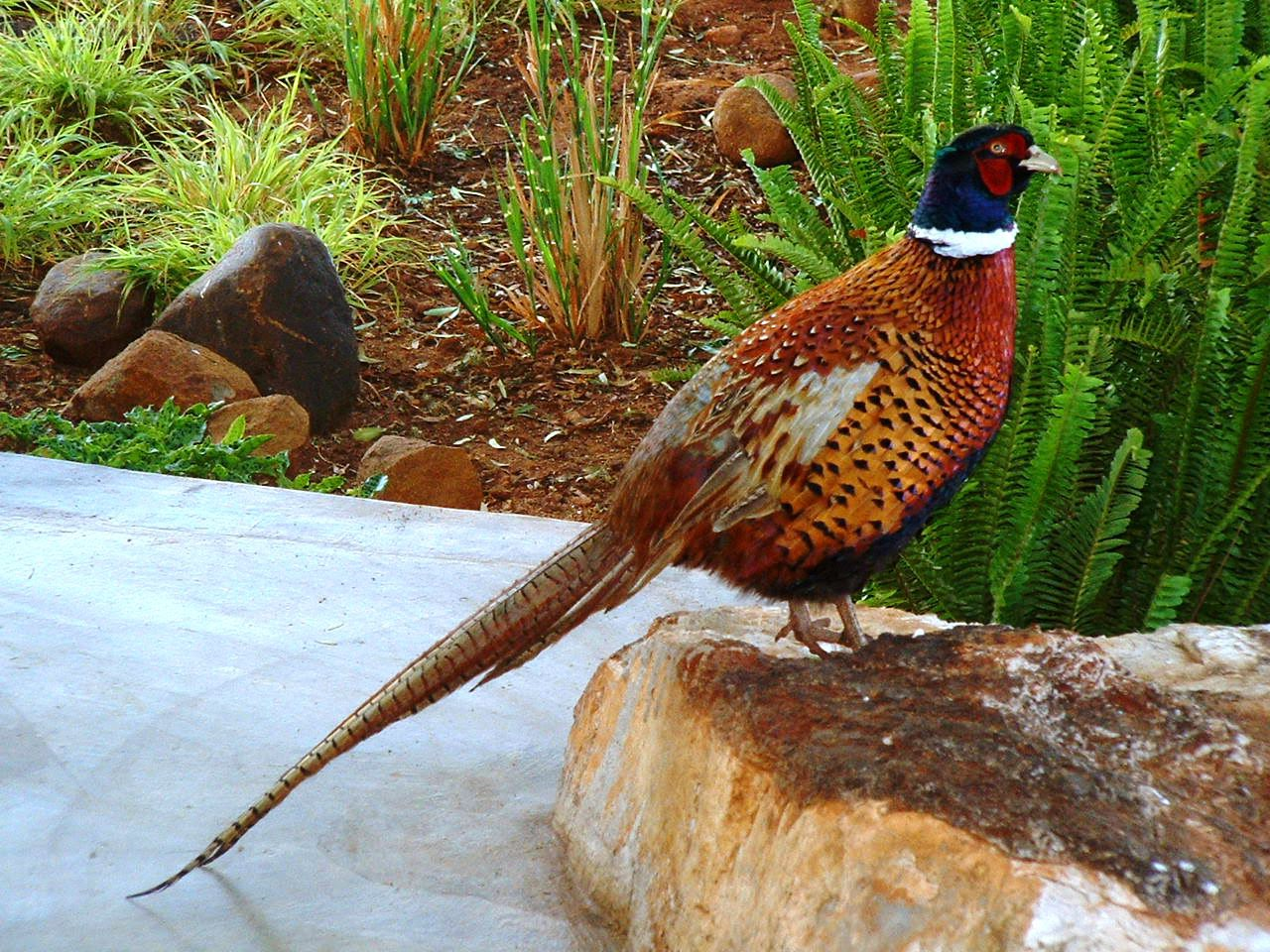 Beautiful Wallpapers For Desktop Hd Colourful Pheasant Bird