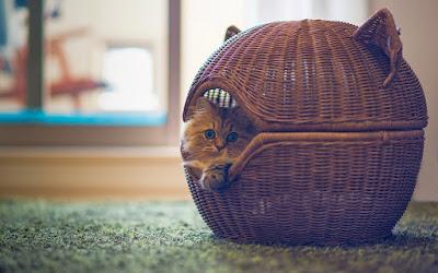 basket-sweet-cat-photo-wallpaper-1920x1200