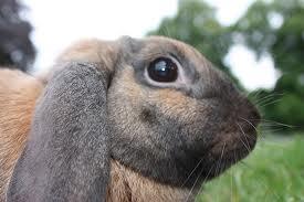 dégâts dans les vignes par les lapins