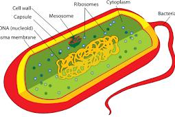 Pengertian Morfologi dan Struktur Bakteri Terlengkap