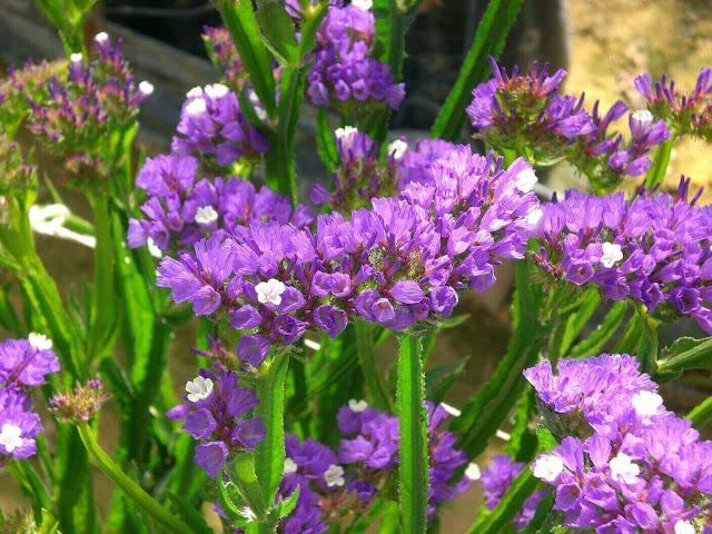 hoa salem y nghia
