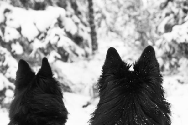 musta koira metsässä belgianpaimenkoira groenendael