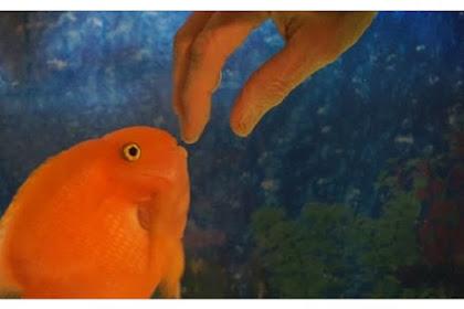 Lucu, Ikan Ini Selalu Ingin Dibelai oleh Pemiliknya