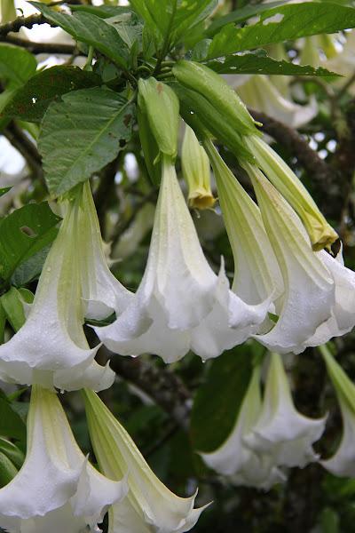 Bunga Loceng Putih