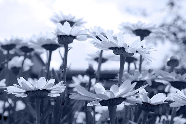Weiße Margeriten künstlerisch in blau-weiß