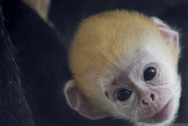 Bayi Lutung Jawa Lahir Pertama Kali di Taman Satwa Taru Jurug